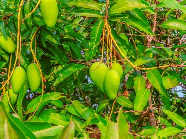 jual bibit tanaman mangga