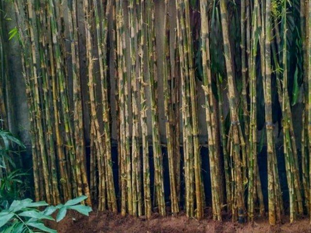 bambu 1-min