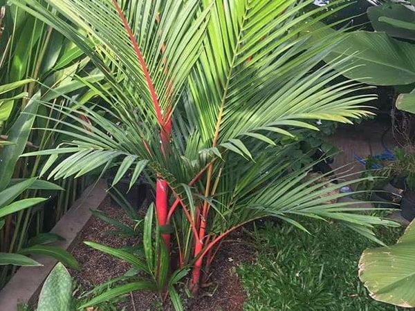 pohon pinang merah