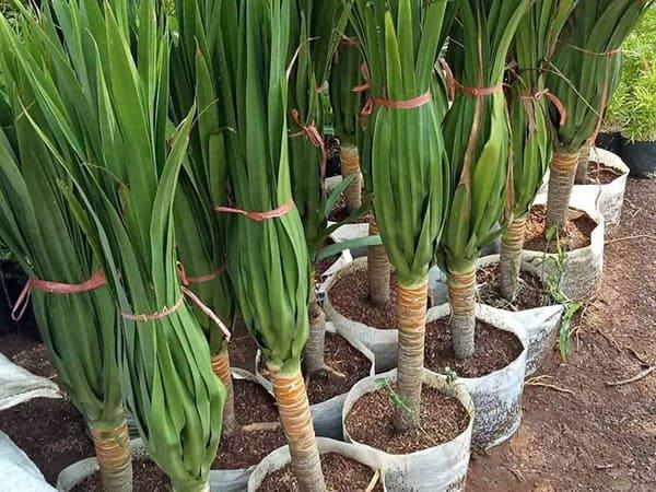 tanaman pandan bali i-min