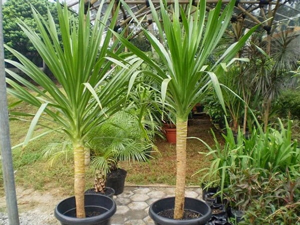 tanaman pandan bali-min