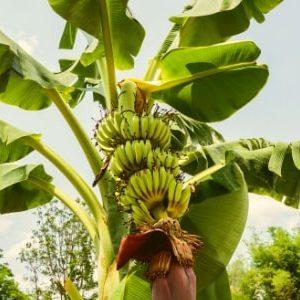 jual bibit pisang