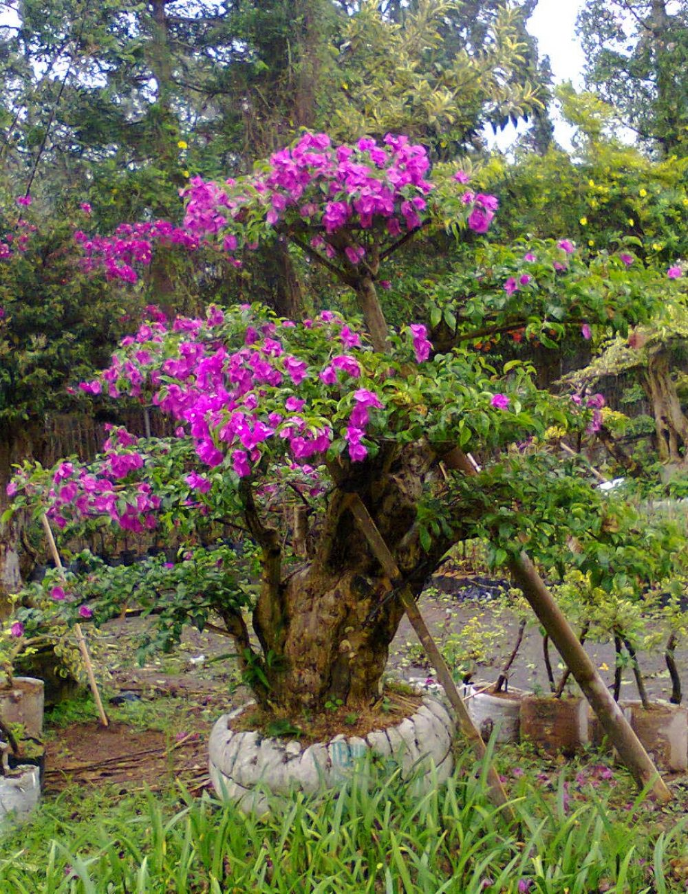 pohon-bonsai-bougenville