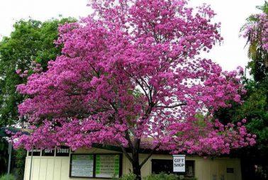 tabebuya pink