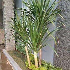 tanaman pandan bali kotak-min
